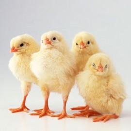 Как заработать на выращивании бройлерных кур?