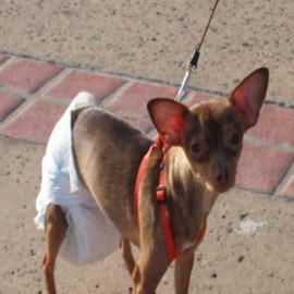 Бизнес идея: производство памперсов для собак